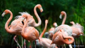 Karibische Flamingos stehen im Tierpark auf einer kleinen Insel im Teich der Vogel-Voliere. Mit 25 Hektar ist der Tierpark Cottbus der größte Tierpark im Land Brandenburg.   23.07.2021 Foto: picture alliance/dpa/dpa-Zentralbild   Soeren Stache